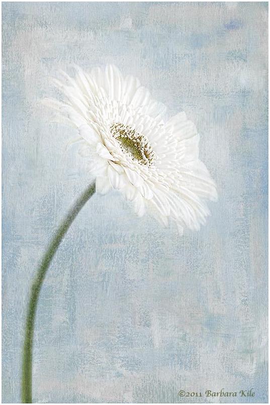 texture overlay of gerbera daisy