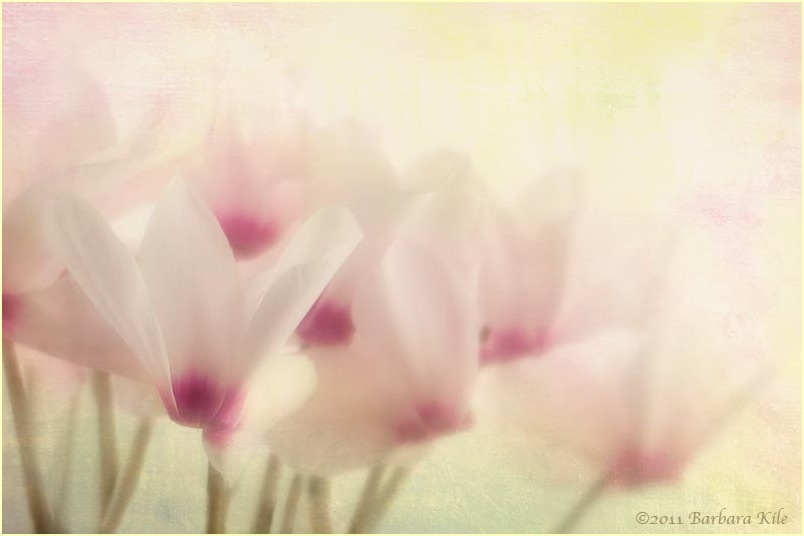 Cyclamen with soft texture