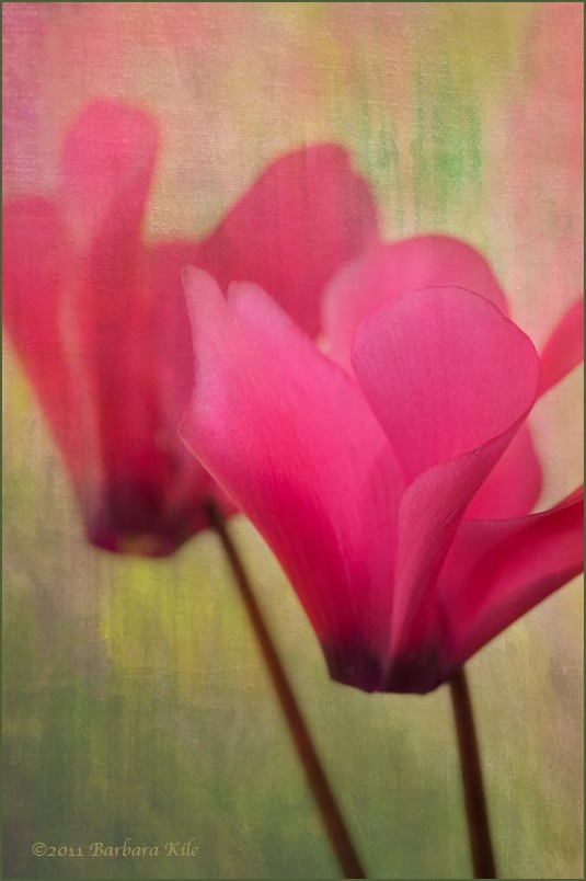 Lensbaby capture of cyclamen