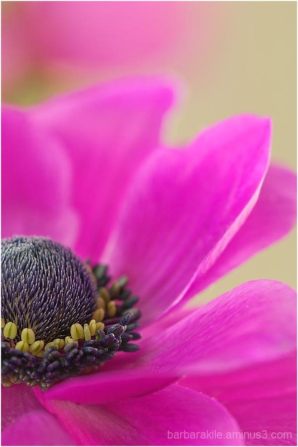 Anemone macro