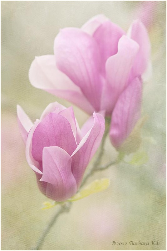 Magnolia blossom and texture