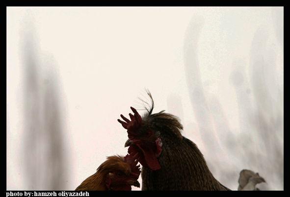 مرغ و خروس