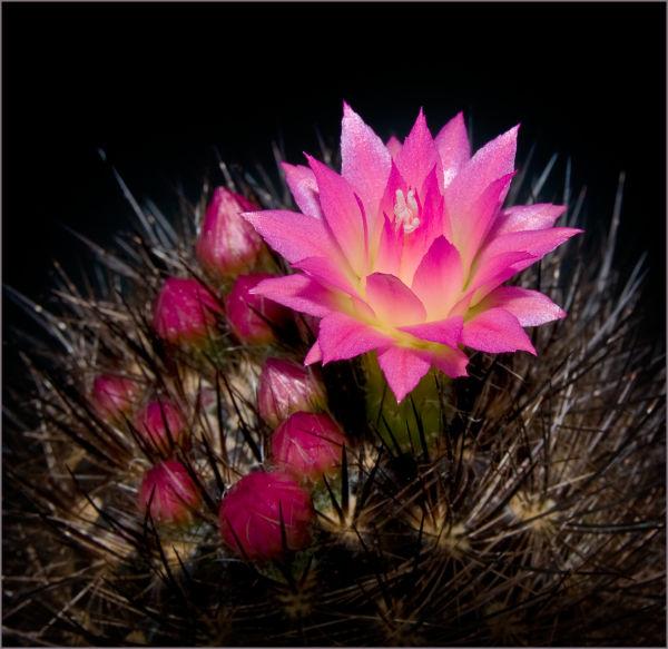 Neoporteria flower