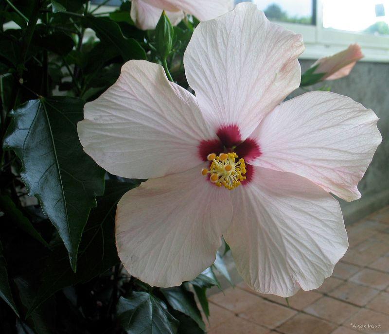 La fleur dont le coeur  jaunissait