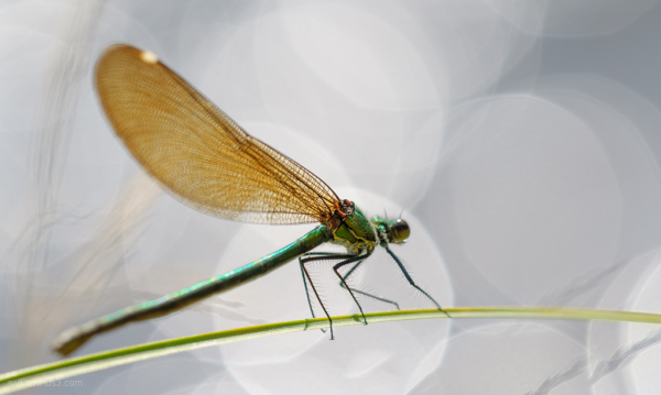 agrion
