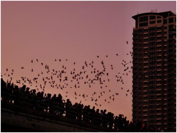 Bats Leaving Their Roost Under Congress Ave Bridge