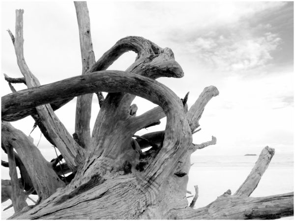 Bleached White Tree On Gold Rock Beach 4/5