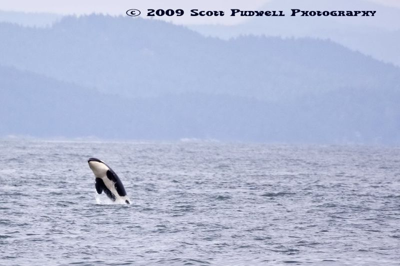 K Pod Orca baby Breaching in the Strait of Georgia