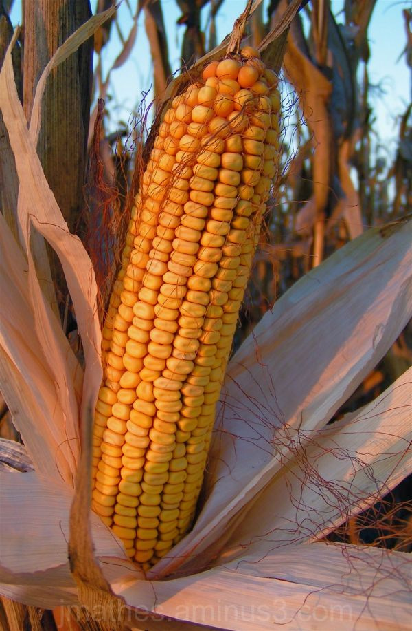 Corn is ready for harvest