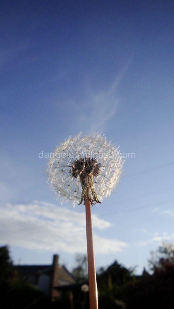 close up of wishing dandelion