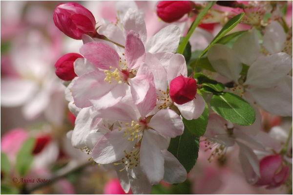 Pink, Spring, Flowers