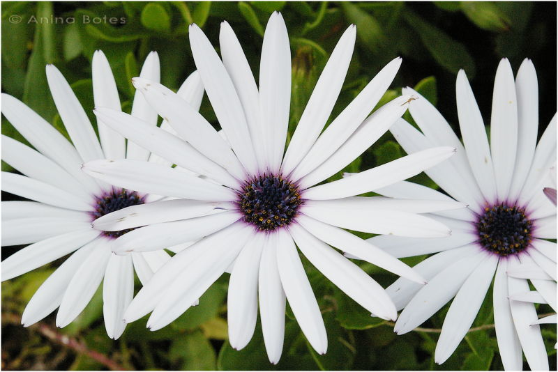 White, Flower