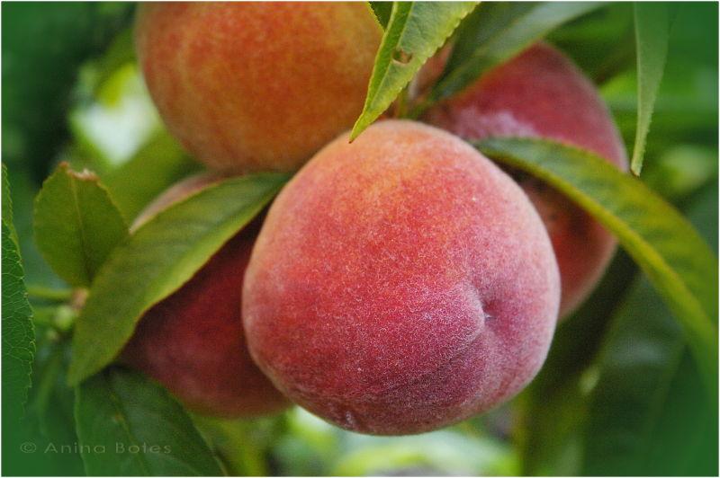 Peach, Garden