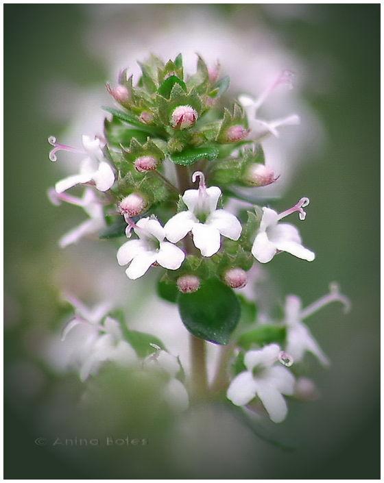 Thyme, Herb, Blooms, Flowers