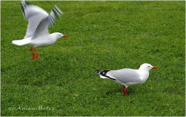 Seagul, flying