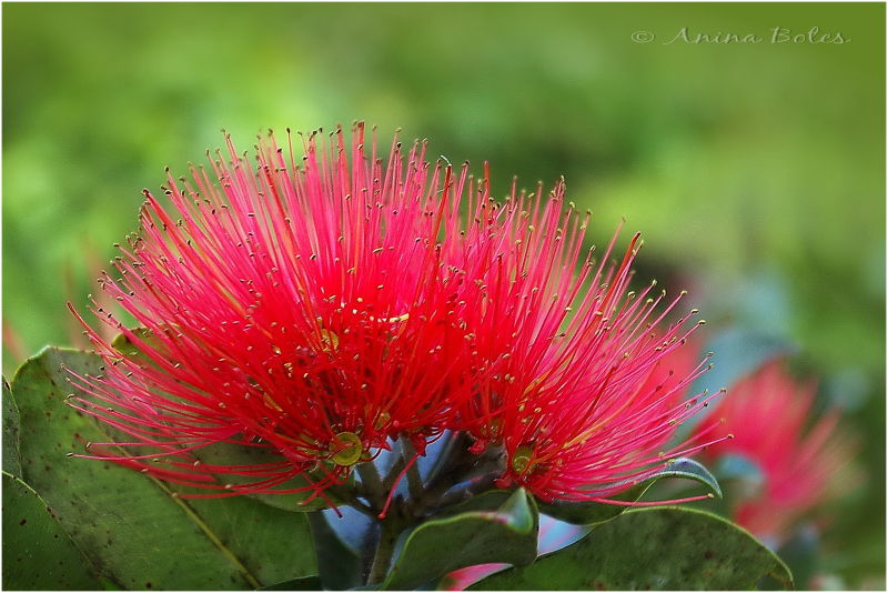 New Zealand Christmas Tree, Red flower, Pohutukawa