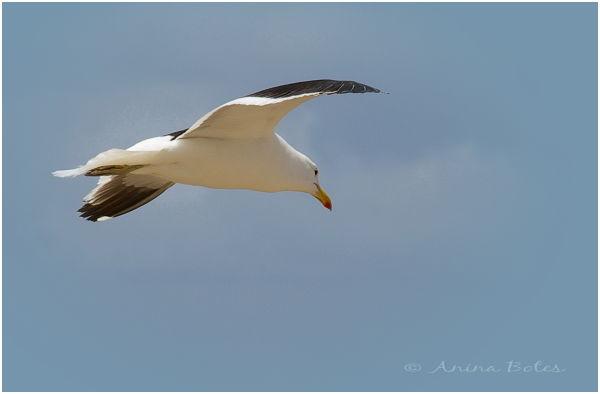 Seagull, sky
