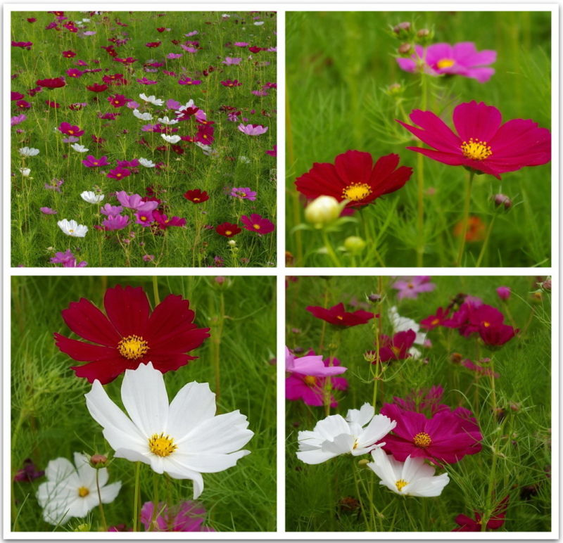 Collage, Cosmos, flowers, pink, white, red, green