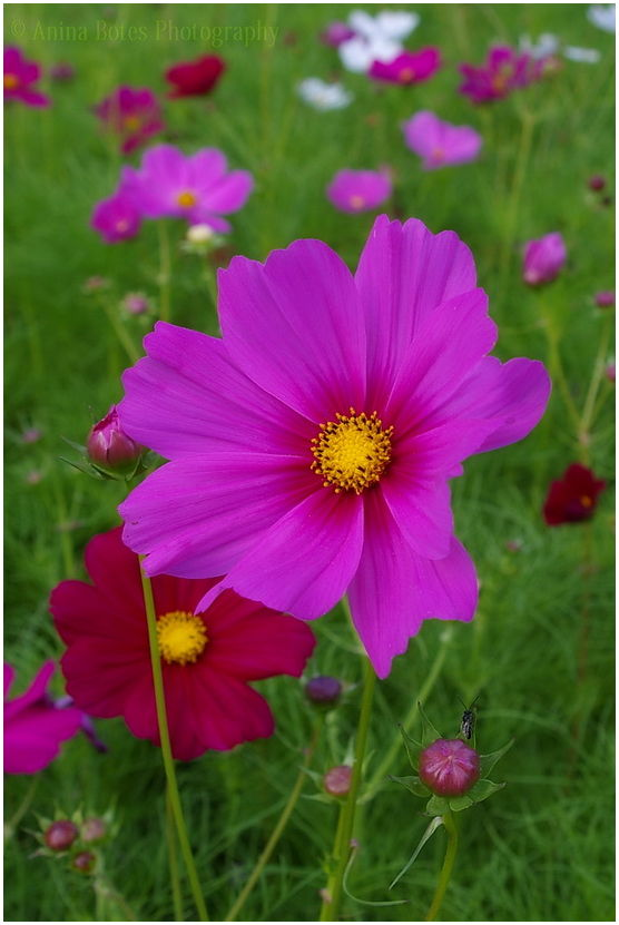 Cosmos, flowers, green, pink, red, white