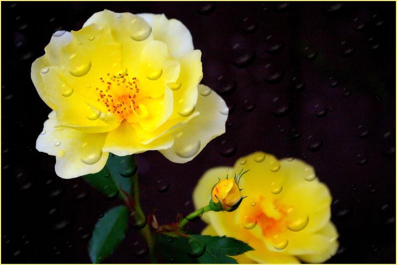 Water, drops, yellow, roses