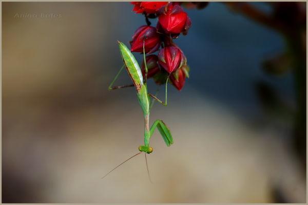 Praying Mantis, Green, Red, Flowers, Macro
