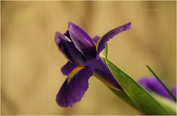 Mother's Day, Iris, Macro