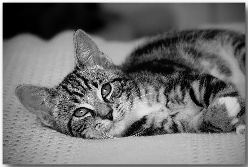 Kitten, Tabby, B&W, NZ