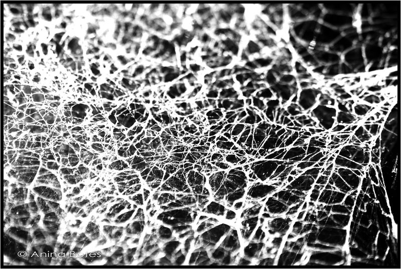 Spider Web, B&W, NZ