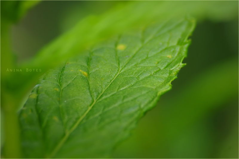 Mint, Leaf, Green, Macro, NZ