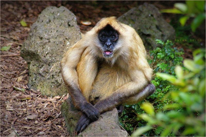 Monkey, ST, Funny, NZ