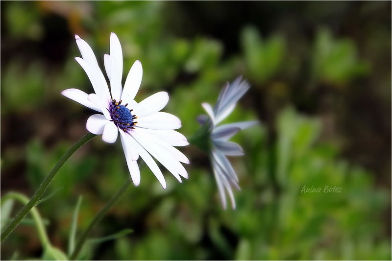 Daisy, White, Color, Close-up, NZ