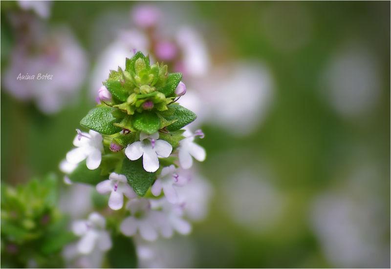 Thyme, Flowers, Pink, Macro, NZ