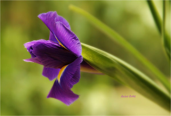 Iris, Flower, Purple, Close-up, NZ