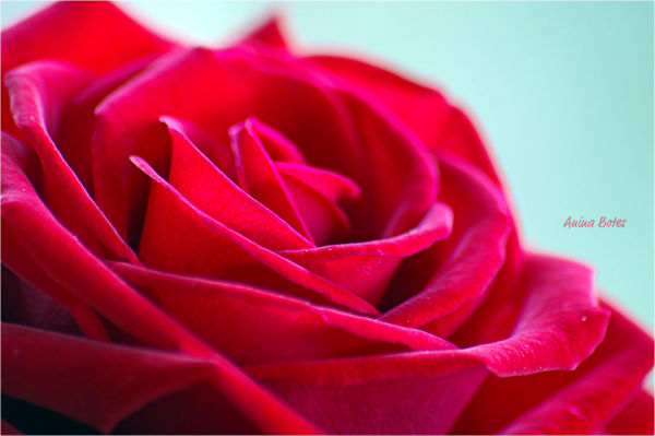 Red, Rose, Flower, Macro