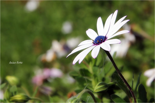 Daisy, Flower, White, Close-up