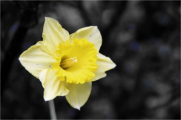 Daffodil Day, Yellow, Flower, NZ