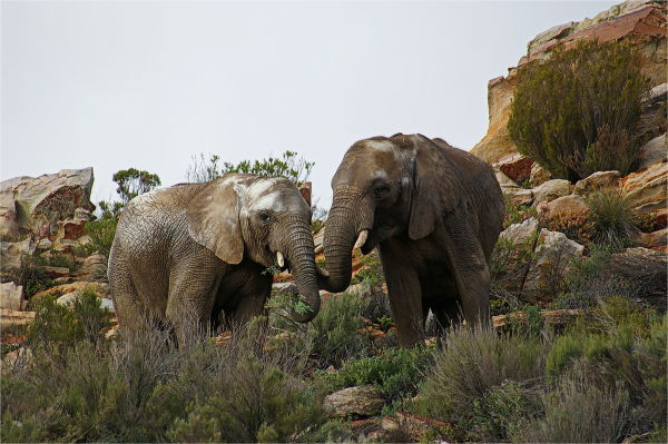 African Elephant, Eating, Wild, RSA