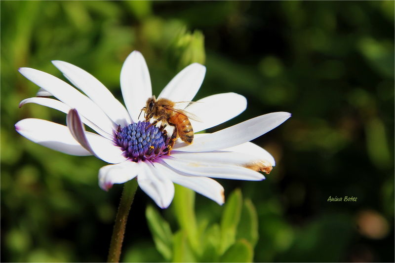 Daisy, Flower, Bee, Spring, Macro