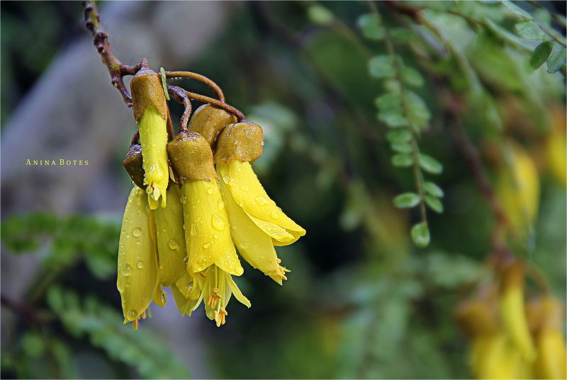 Kowhai Flowers, Yellow, NZ