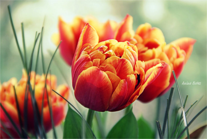 Tulips, Flowers, Orange, NZ