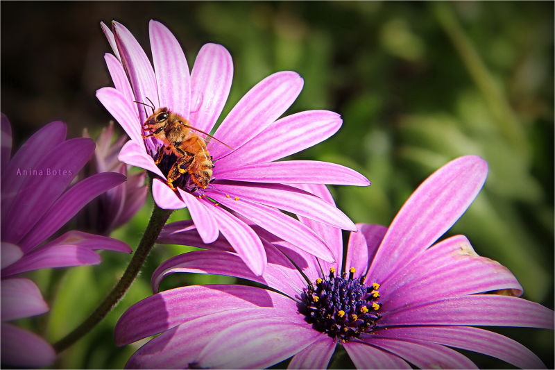 Bee, Daisy, Pink, Purple