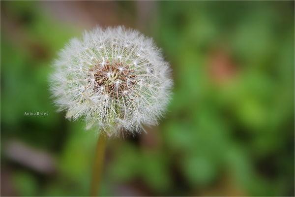 Dandelion, Macro