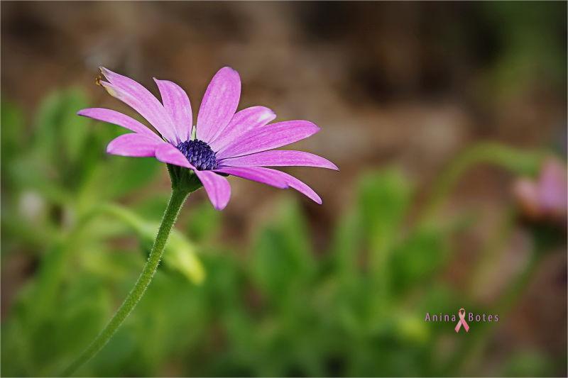 pink, daisy