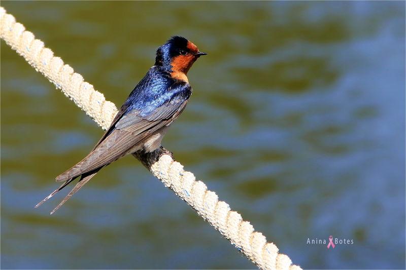 Welcome Swallow, Bird, little, Waikato River, NZ