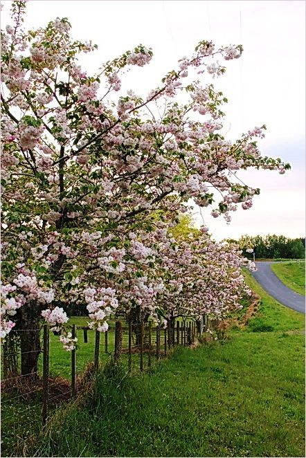 Spring, blossoms, Pink, white, NZ