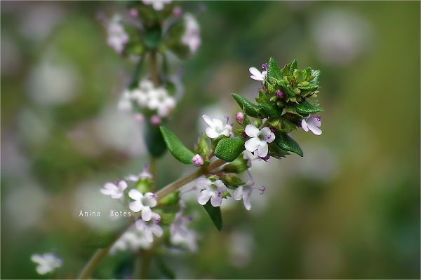 Thyme, flowers, macro, spring