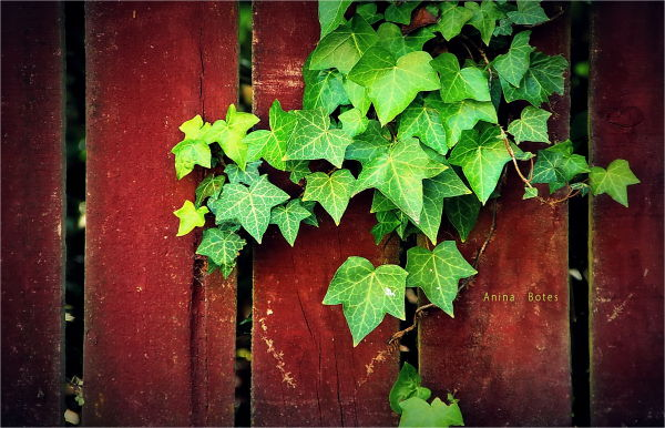 Ivy, Fence, Colours