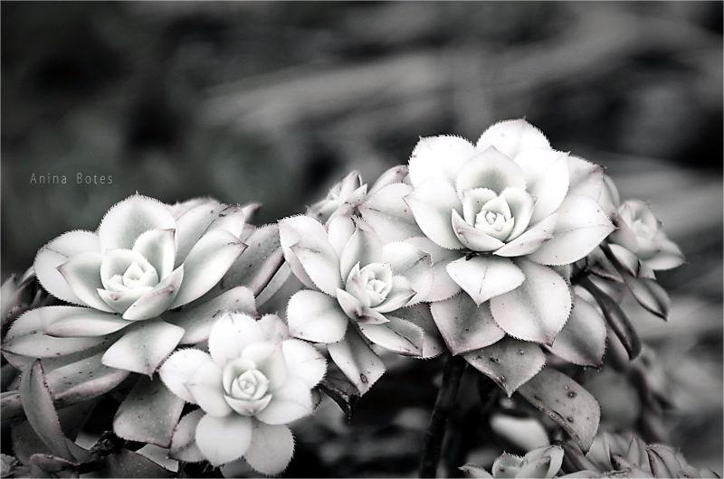 Flower, B&W, Succulent, Plant