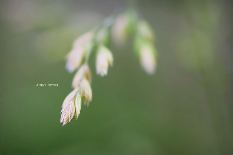 Grasses, Seeds, DOF, 50mm, Macro