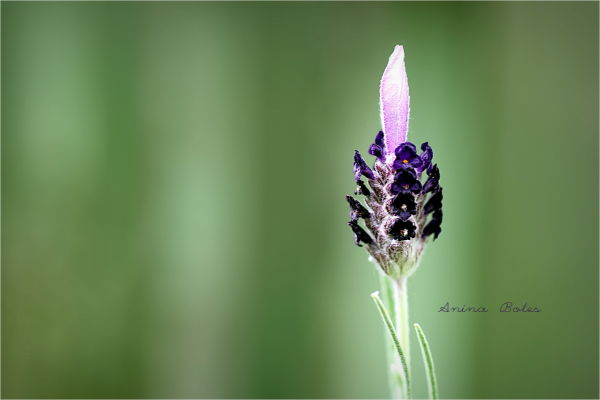 Lavender, Single, 50mm, Macro